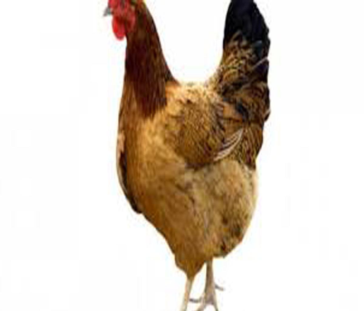 تفسير حلم الحامل للدجاج في المنام