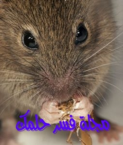 حلم الفأر للبنت العزباء في المنام لابن سيرين