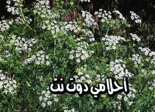 نبات الشوكران من النباتات القاتلة