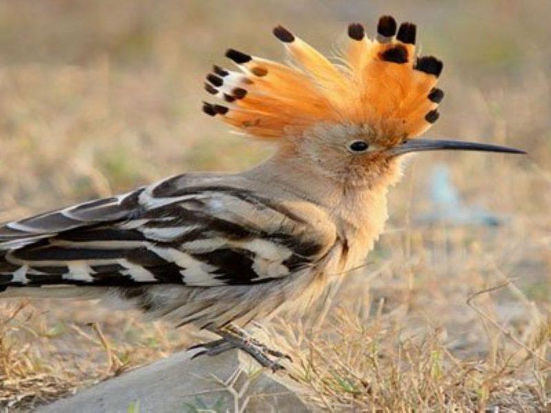 تفسير رؤية طائر الهدهد في المنام