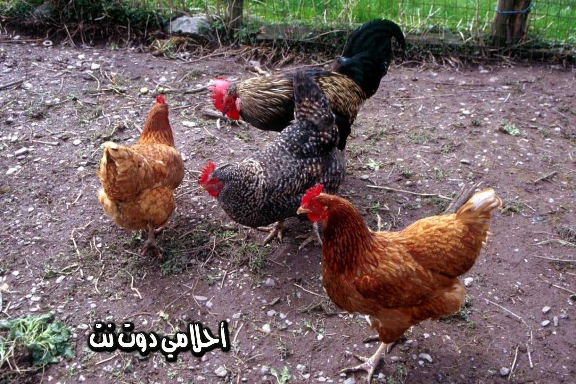 تفسير رؤيه الدجاج في المنام لابن سيرين