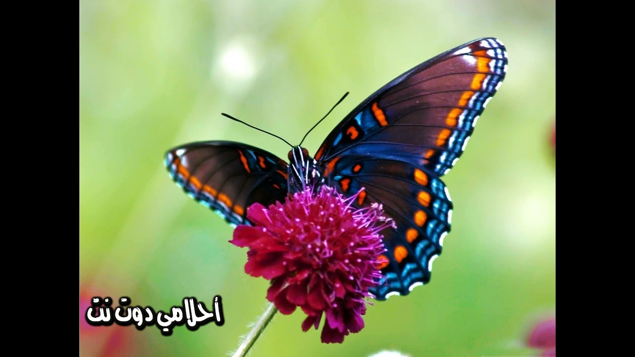 تفسير رؤية الفراشة في المنام 2