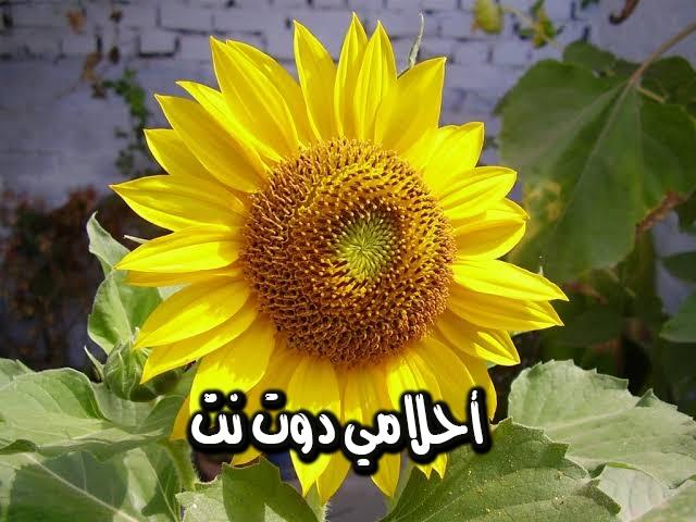 تفسير رؤية بذور زهرة عباد الشمس في المنام