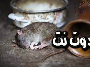 تفسير رؤية الفئران الميتة في المنام