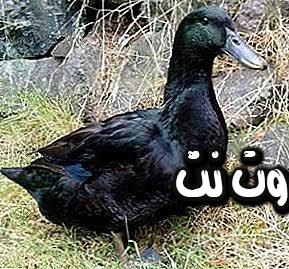 تفسير رؤية البط ذو اللون الأسود في المنام