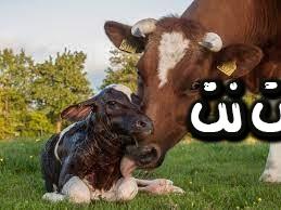 تفسير رؤية البقرة في المنام - رؤية موت البقرة في المنام - رؤية بقرة سوداء ميتة في المنام