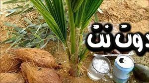 رؤية حبة جوز الهند مكسرة بالمنام - رؤية اطعام المولود جوز الهند بالمنام - شجرة جوز الهند في المنام